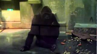 2010.12.28 千葉市動物園のゴリラのローラちゃんは、いつもマイペース...