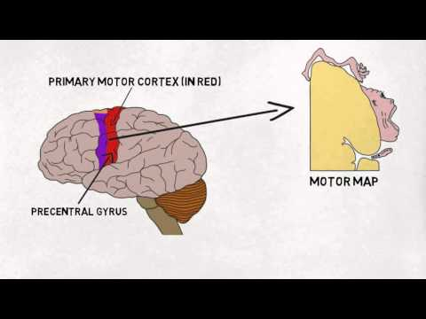 2-Minute Neuroscience: Motor Cortex