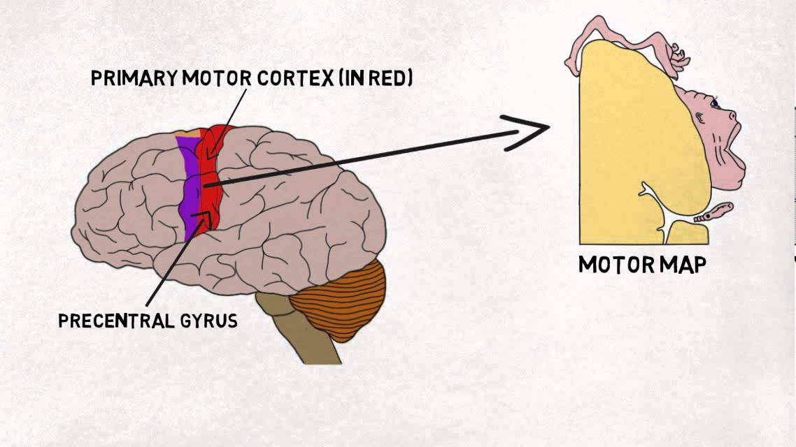 2-minute Neuroscience  Motor Cortex