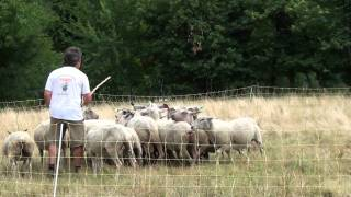 sonny et patrice bouvier australien sur troupeau ovin