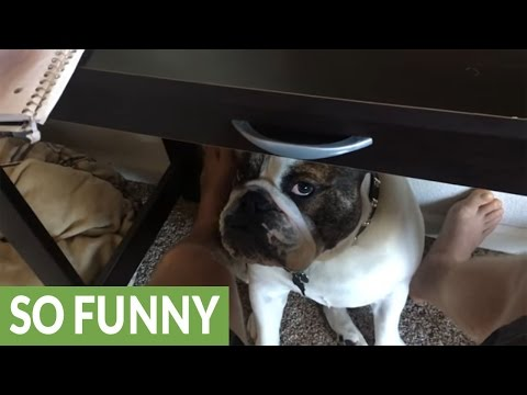 Bulldog begs for attention while owner tries to work