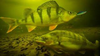 РЕАКЦИЯ ОКУНЯ И СУДАКА НА БАЛАНСИР ЛОВЛЯ ОКУНЯ НА БАЛАНСИР ЗИМОЙ зимняя рыбалка подводная съемка