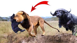 Great! Mother Buffalo rescue success newborn Buffalo from the king Lions,15 Wild Dogs vs 3  Lions