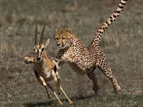 leopard kills deer animals attack wildlife documentary