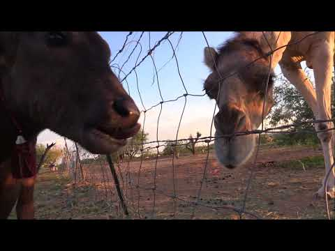 Nandi meets Baby & Nessie (Water Buffalo meets 2 Camels)