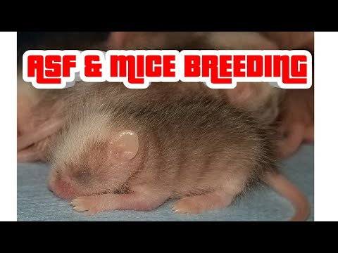 MICE & ASF RAT  BREEDING