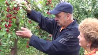 видео Колоновидная груша: сорта для Подмосковья, посадка и уход