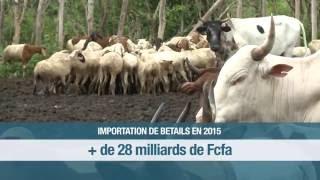 Bétail-viande: A quand l'autosuffisance en Côte d'Ivoire?