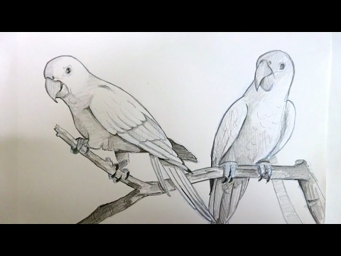 Drawing Two Parrots Sitting On A Branch | Pencil Art | Timelapse