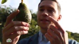 продукт недели: авокадо