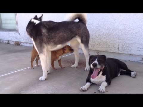 husky-dog-playing-with-sammie-and-sausage!