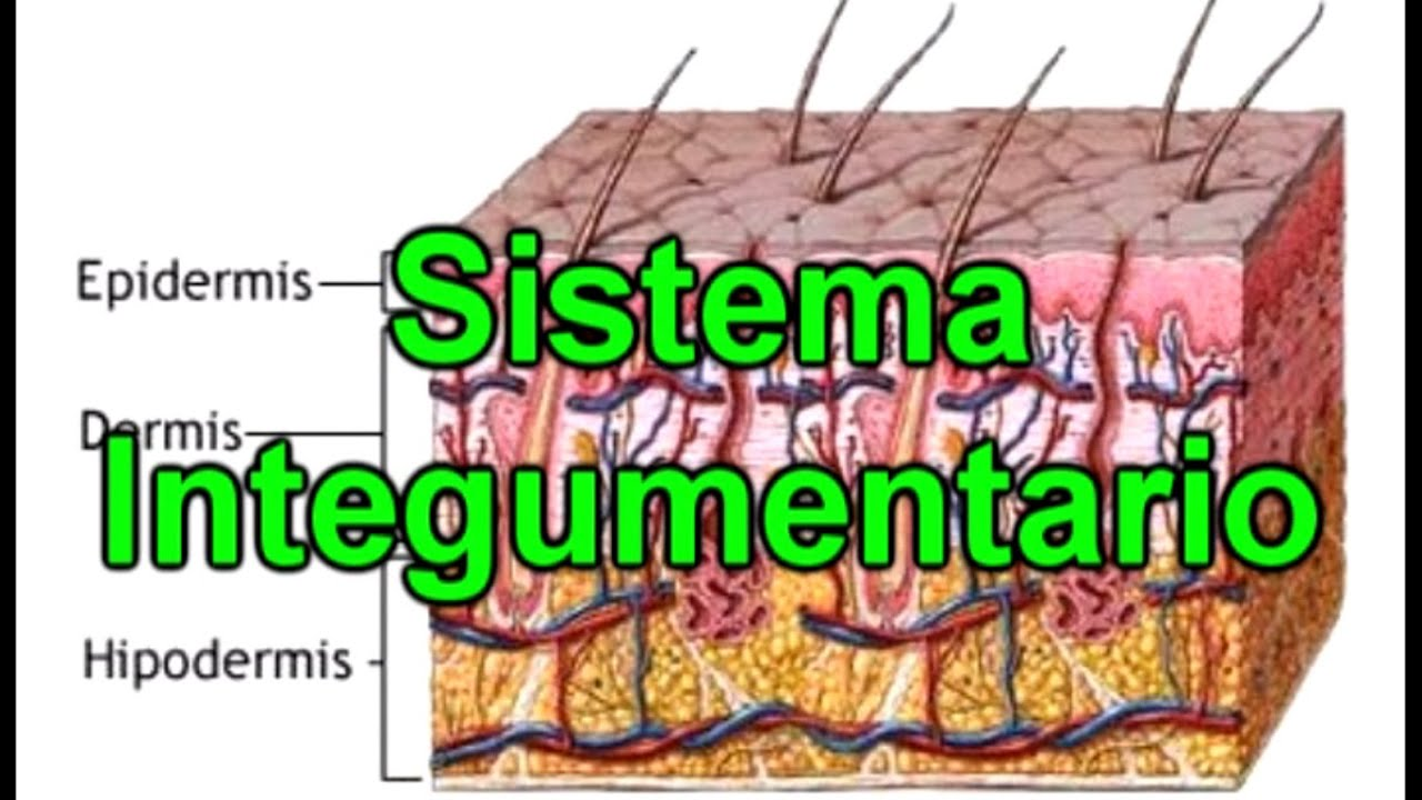 El Sistema Integumentario - La Piel - Documental de Biología - YouTube