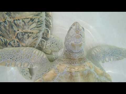 turtle farm   caymans islands   черепашки ниндзя, попытка уйти морем!  плаванье в коралловых рифах н