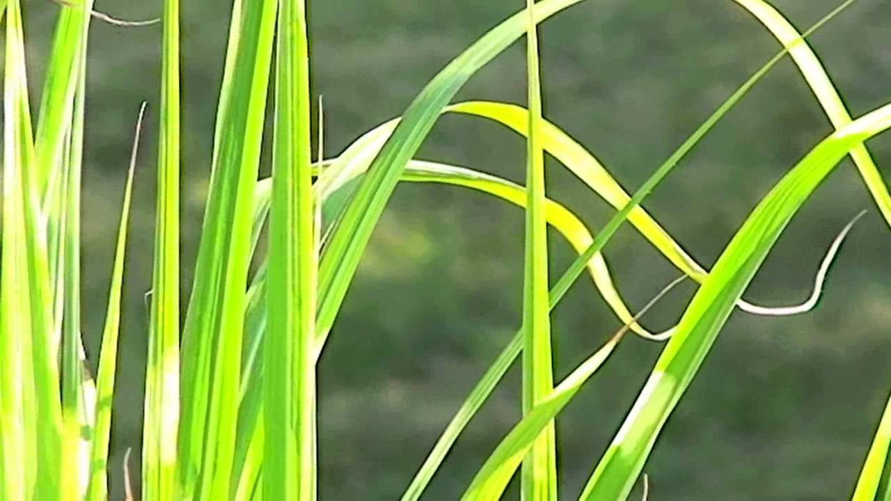 Zebragras Miscanthus sinensis zebrinus   verzorging, snijden en ...
