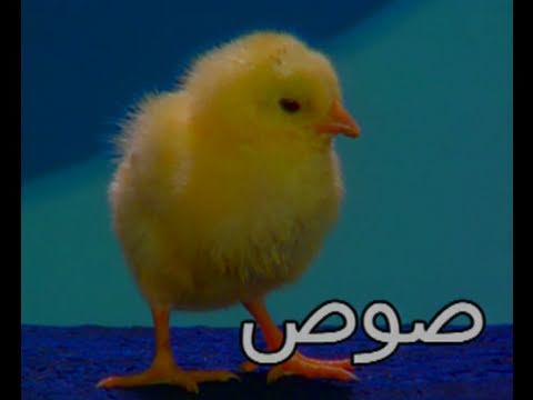 Arabic Nursery Rhyme, Baby Chicks - Teach Arabic Kids thumbnail