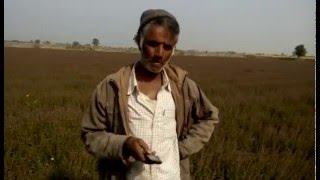 तुलसी की खेती Farming of Tulsi