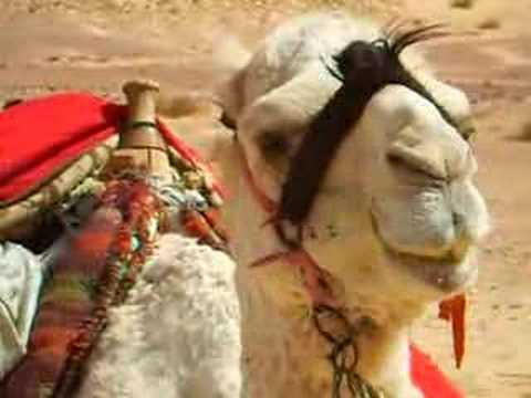 camel chewing