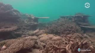 видео Кораллы погибают