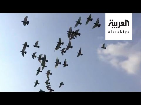 صباح العربية | تربية الحمام خطر فوق الأسطح  - نشر قبل 3 ساعة