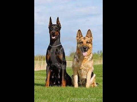 Doberman vs German shepherd 2016 |pulling power of dogs