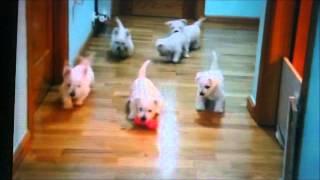 Westie Puppies !!! Pui De Catei Westie !!!