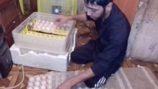 Закладываем яйца бройлера КОББ 500