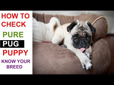 How to Check Pure PUG Breed In Hindi | Know Your Breed In hindi | The Ultimate Channel