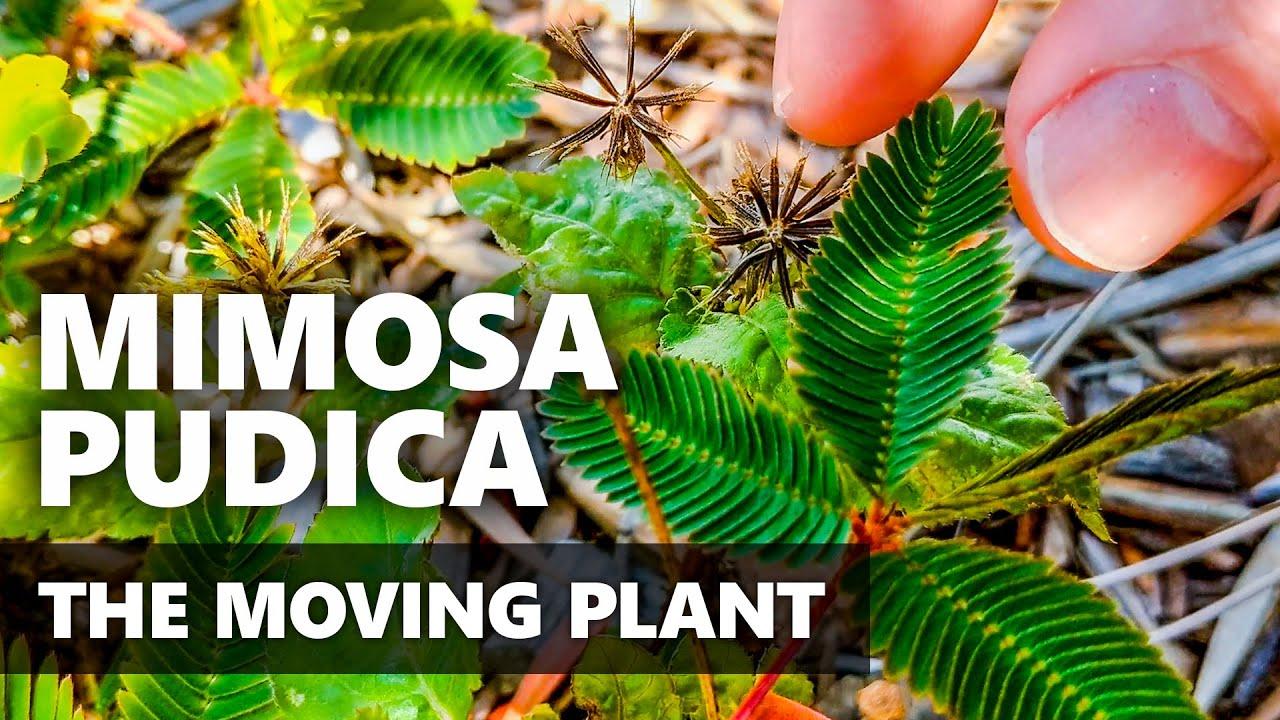 Mimosa pudica por paraziták