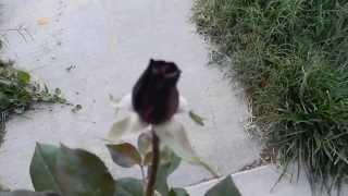 Black Baccara Hybrid Tea Rose Color Change