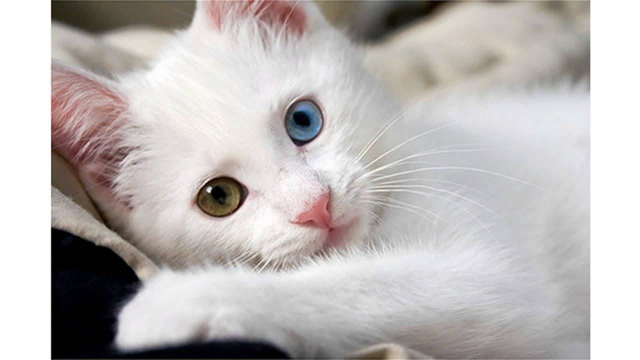 Baby white cat