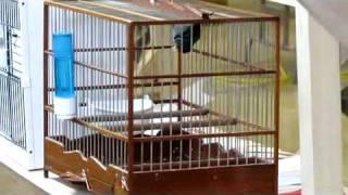 NY Finch & Canary #1