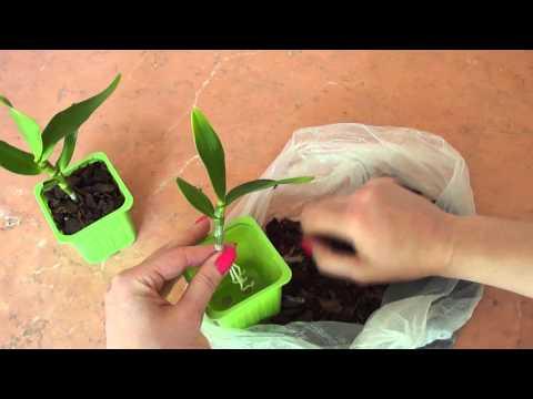 Садим молодые росты дендробиума.