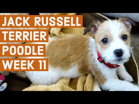Jack Russell Terrier Poodle Mix Puppy - Week 11
