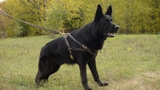 German Shepherd Wearing Professional Pulling Leather Dog Harness