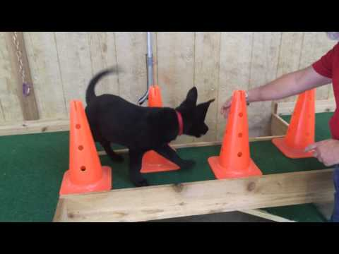"Best Black German Shepherd Puppy ""Egon"" Obedience Trained For Sale"
