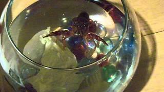 Crawfish Vs Finger