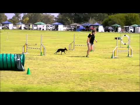 Trixie - Manchester Terrier - WA State Agility Trial 2014