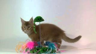 Красная тиккированная кошка