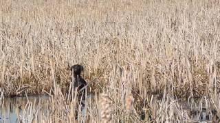Молодая собака BASSI знакомится с утками. Работа по болотной дичи. vom WEISSE KIRCHE