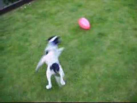 English Pointer meets his first balloon