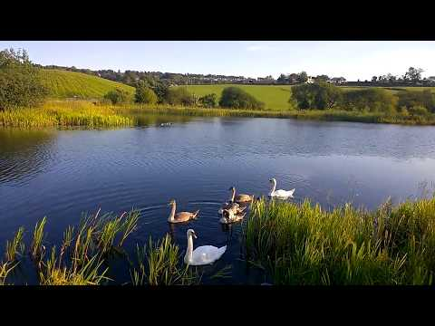 Swans in the Forth and Clyde Canal