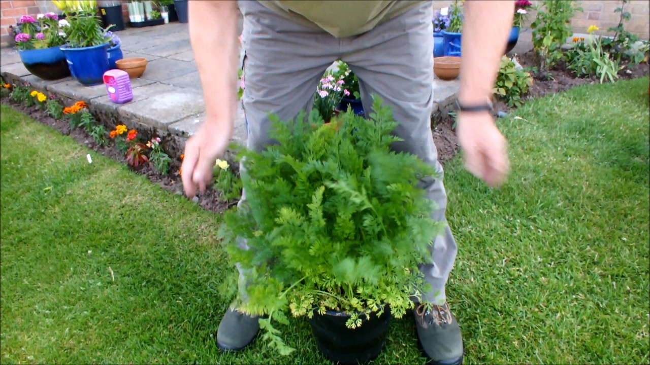 How To Grow Carrots In Pots Update And A Warning You