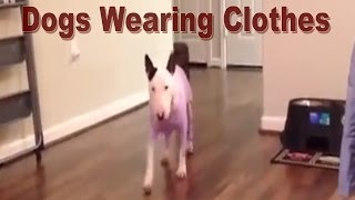Dogs Wearing Clothes - Boxer, Chihuahua, Terrier, Pit Bull Type, Whippet, English Bull Terrier, Pug.