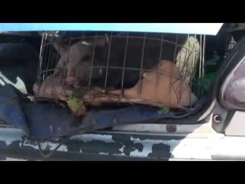 Υπαίθρια πώληση γουρουνιών στο Χαϊδάρι Αττικής
