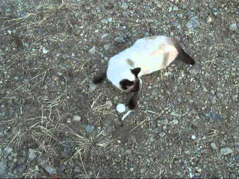 ピンポン玉遊びが好きなシャム猫ちゃんSiamese cat playing with ball【いなか猫1043】japanese funny cat