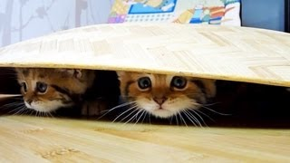 Kittens under the dome .  Funny Cats and Cute Kitten