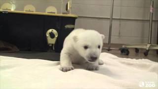 So cute little bear - This is his first steps! CUTE CUTE CUTE