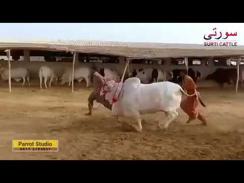 Surti Cattle Farm Documentary 2017