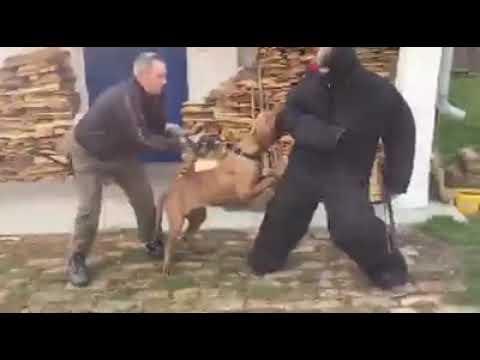 "andante-bandog-female-""choco-andante""-(breed-by-andante-bandog-kennels---slovakia)"