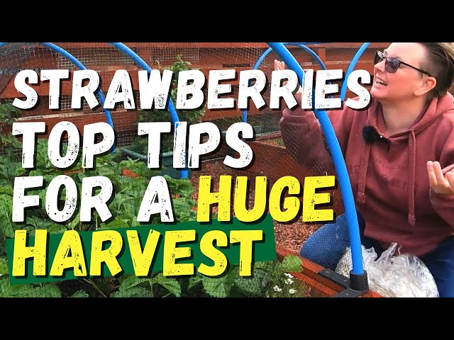 Strawberries top tips for a HUGE harvest